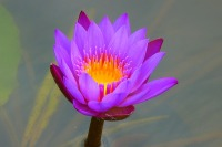 water-lily-139364_640